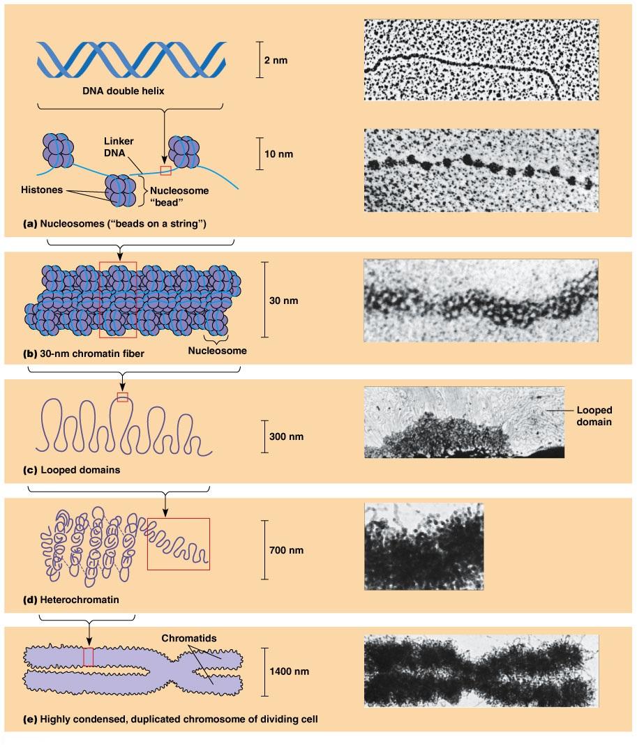 Компактизация ДНК