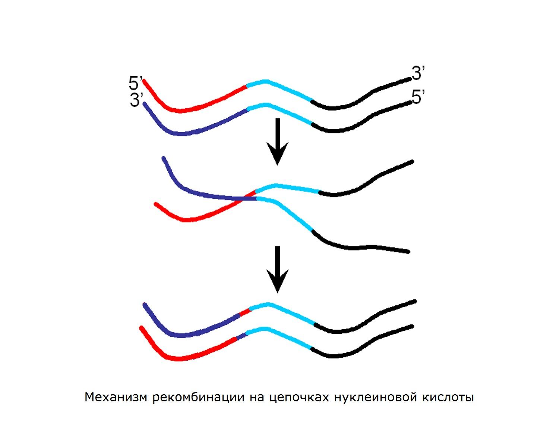 Рекомбинация ДНК